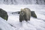 Brown bear in strongly flowing water