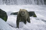 Brown bear looking for salmon in strong currents