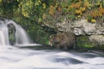 Hungry brown bear looking for salmon at the waterfall