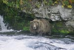 Brown bear looking for salmon below the Brooks waterfall