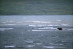 Brown Bear in a storm in the lake