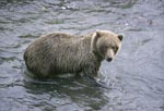 Brown bear hunting for salmon in Brooks River