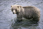 Brown Bear looks critical to the riverbank