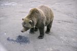 Brown bear wants to know what this is