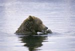 Brown bear with salmon in the River Center