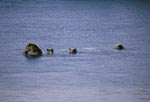 Mother brown bear with three cubs in Naknek Lake