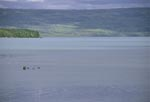 Brown bear family in the lake