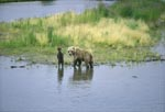 Sow with her spring cub on the river bank