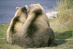 Back view of two brown bears