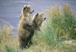 Something attracts the attention of two brown bears