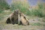 She-bear with young Bear
