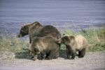 Brown bear mother with two cubs