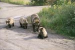 Mother brown bear with three cubs