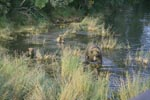 Brown bear family in shallow water