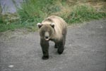 Brown bear on a gravel road