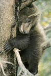 Scary little brown bear on the tree
