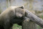 Little Brown Baer sleeps on the barrier