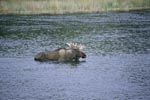 Moose in the shallow river water