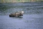 A Moose in the river