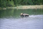 Moose in shallow water