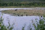 Astonished Brown bears and a moose