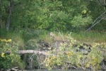 A Wolf looks out of the dense vegetation