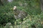 Spruce Grouse in the autumn forest