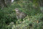 Spruce grouse - typical inhabitant of the North