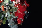 Red sponge in the Red Sea