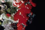 Red sponge (Cliona vastifica)