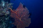 Sea fan at the drop off