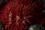 Crown of thorn starfish Acanthaster planci