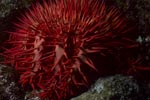 Crown of Thorns starfish Acanthaster planci