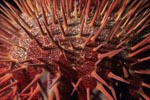 Crown of thorns starfish close up