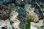 Giant clams (Tridacna)