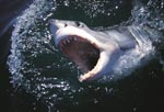 Great White Shark with wide open mouth