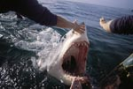 Great White Shark attacks outboard motor