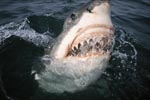 Great White Shark begins to open its mouth