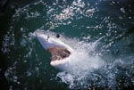 Eye contact with the Great White Shark