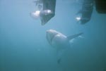 The Great White Shark is fascinated by the outboard motors