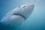 great white shark - a myth