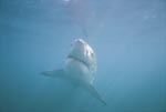 Scientifically, the Great White Shark is still a dark horse