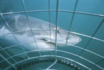 The Great White Shark and the Shark cage