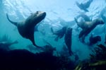 Elegant fur seals underwater