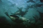 South African fur seals underwater