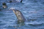 Fur seal lifts its head over water