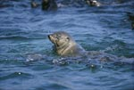 South African fur seal checks the location