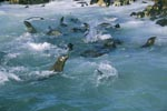 Fur seals play in the surf