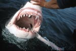 The Great White Shark shows its teeth