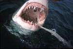 Great White Shark and bait on the water surface